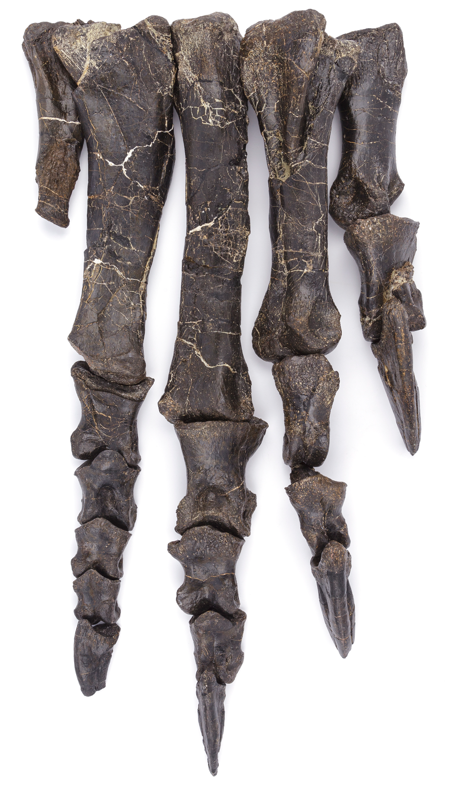 Sciences naturelles_Poligny patte du platéosaure © David Vuillermoz Musées de Lons-le-Saunier